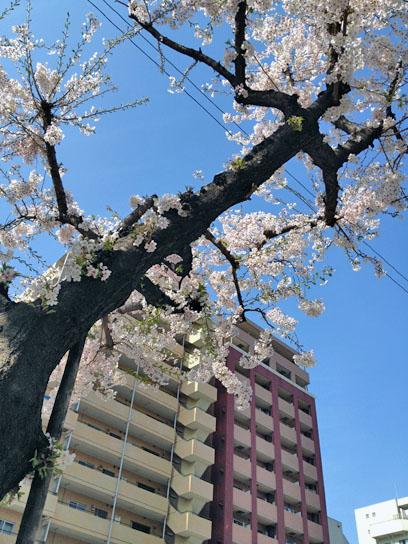 140401門仲バス停の桜.jpg