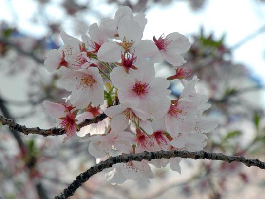 140408大横川桜4.jpg