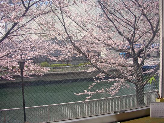事務所桜2.jpg