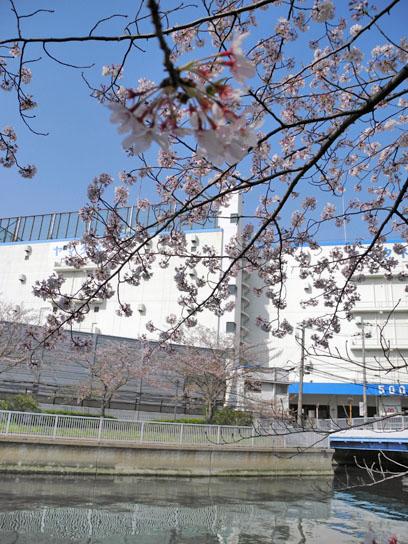 140408大横川桜3.jpg