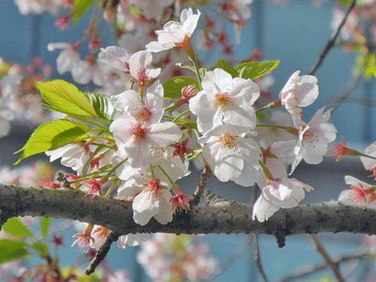 140408大横川桜5.jpg