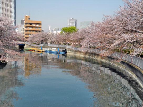 140408大横川桜6.jpg