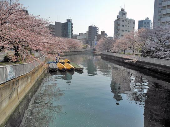 140408大横川桜8.jpg