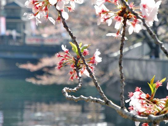140408大横川桜9.jpg