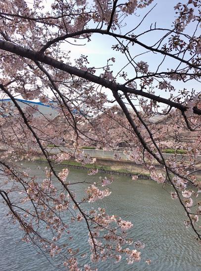 170407大横川桜2.jpg